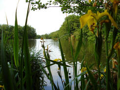 yellow flag iris and the view of Salhouse Broad
